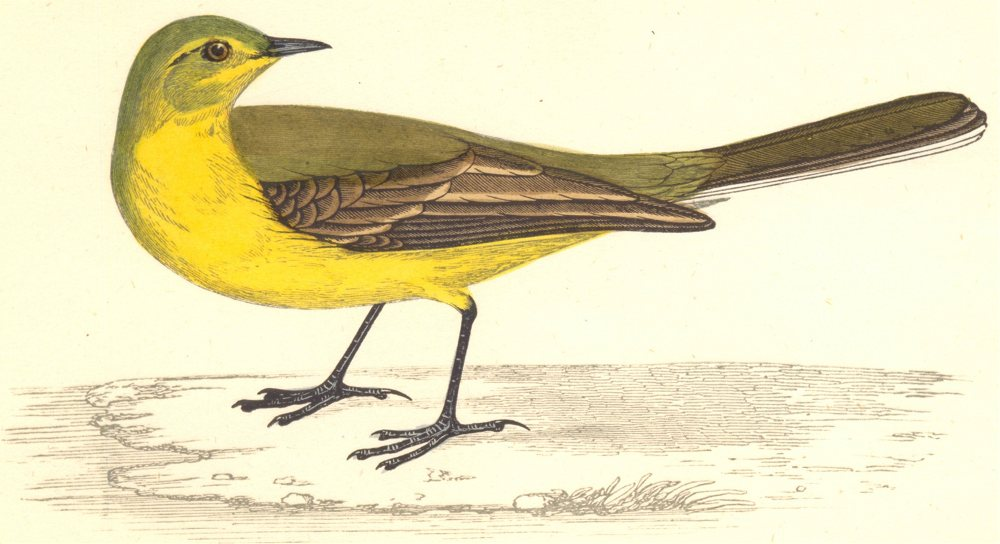 Associate Product BIRDS. Yellow Wagtail (Morris) 1880 old antique vintage print picture