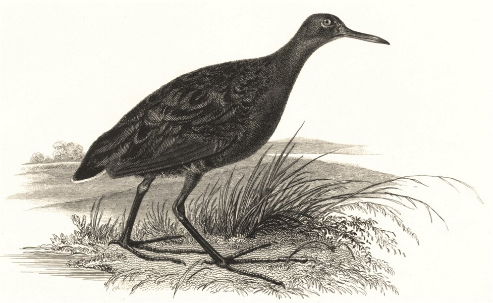 Associate Product BIRDS. Water Rail. Water Rail 1829 old antique vintage print picture