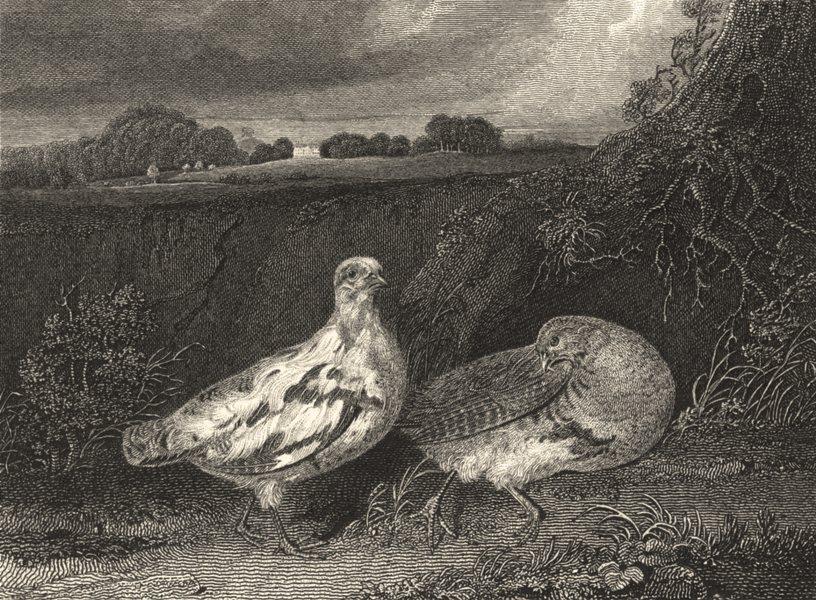 BIRDS. Variegted Partridge 1841 old antique vintage print picture