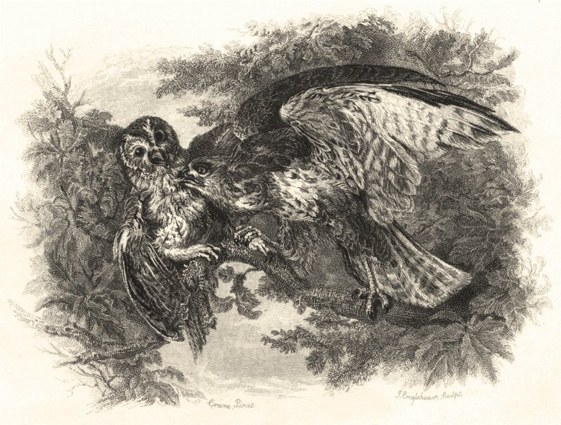 Associate Product BIRDS. Tawny Owl attacked by a buzzard 1835 old antique vintage print picture