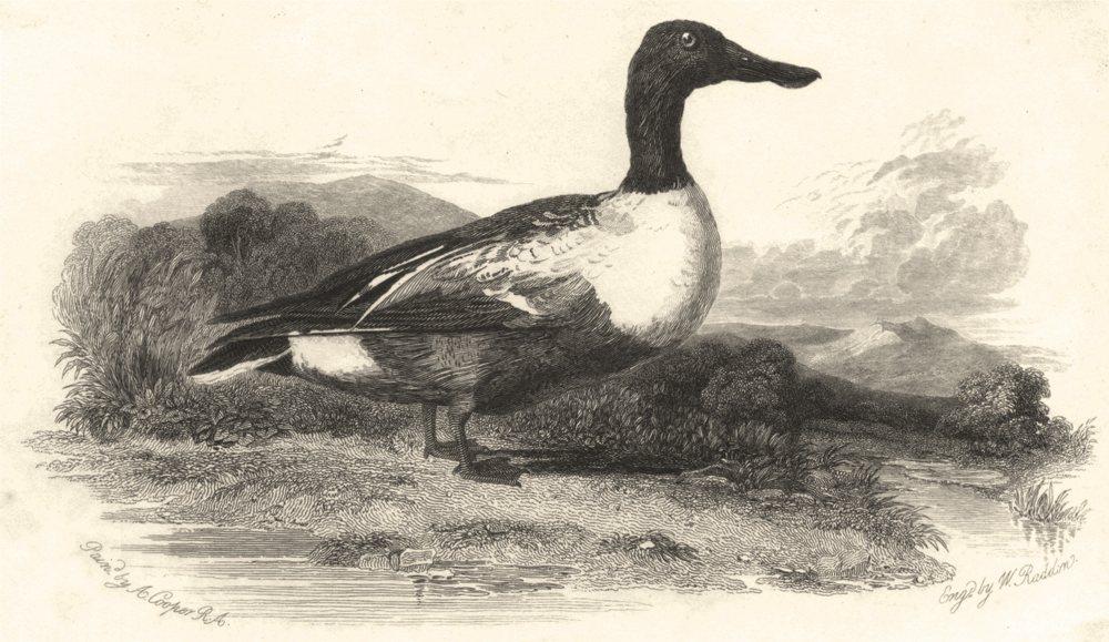 Associate Product BIRDS. Shoveller Duck. Shoveller c1835 old antique vintage print picture