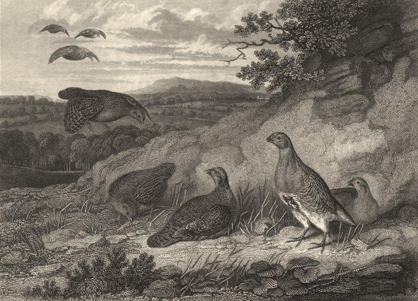 Associate Product BIRDS. Partridges. Good print of a flight landing. Partridges 1834 old