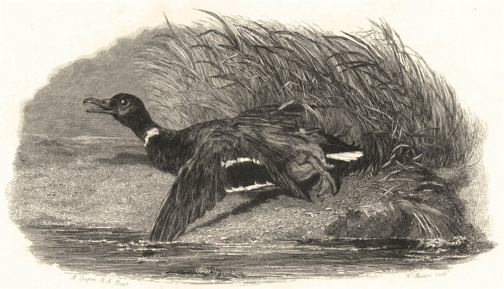 Associate Product BIRDS. Mallard Duck (Wounded) . Wounded Mallard 1832 old antique print picture