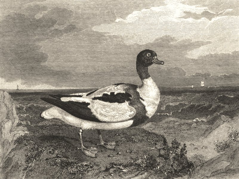 Associate Product BIRDS. Shieldrake. Shieldrake 1830 old antique vintage print picture