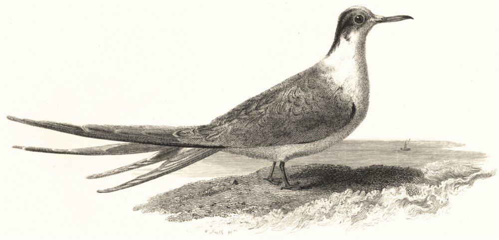 Associate Product BIRDS. Tern.  c1830 old antique vintage print picture