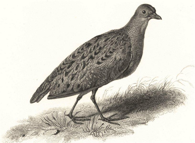 BIRDS. Land Rail. Land Rail 1829 old antique vintage print picture