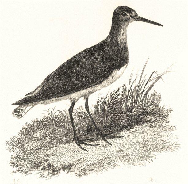 Associate Product BIRDS. Green Sandpiper. Green Sandpiper c1826 old antique print picture