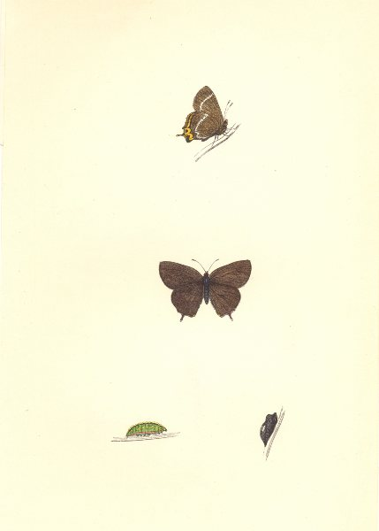 Associate Product BUTTERFLIES. White- W Hairstreak (Morris) 1868 old antique print picture