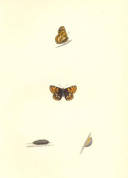 Associate Product BUTTERFLIES. Duke Of Burgundy Fritillary (Morris) 1868 old antique print