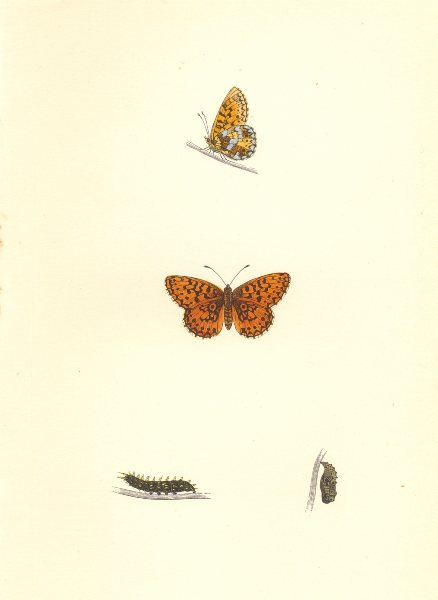 Associate Product BUTTERFLIES. Small Pearl- Bordered Fritillary (Morris) 1868 old antique print