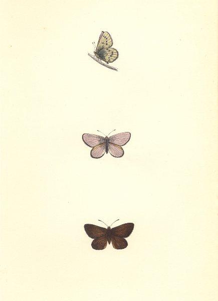 BUTTERFLIES. Mazarine blue (Morris) 1868 old antique vintage print picture