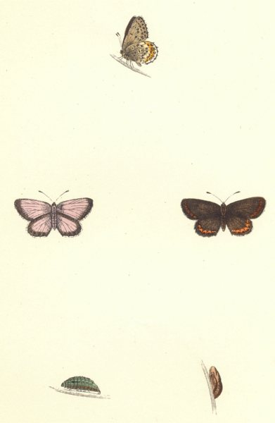 Associate Product BUTTERFLIES. Silver- Studded blue (Morris) 1868 old antique print picture