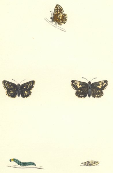 Associate Product BUTTERFLIES. Grizzled Skipper (Morris) 1868 old antique vintage print picture