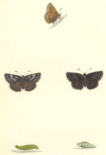 Associate Product BUTTERFLIES. Dingy Skipper (Morris) 1868 old antique vintage print picture