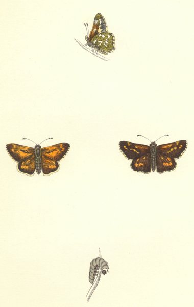 Associate Product BUTTERFLIES. Silver- Spotted Skipper (Morris) 1868 old antique print picture