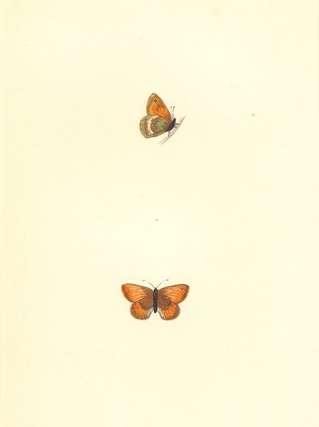 Associate Product BUTTERFLIES. Least Meadow Brown (Morris) 1868 old antique print picture
