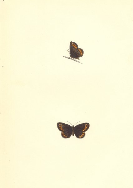 Associate Product BUTTERFLIES. Small Ringlet (Morris) 1868 old antique vintage print picture