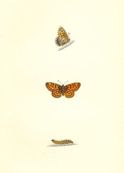 Associate Product BUTTERFLIES. Weaver's Fritillary (Morris) 1868 old antique print picture