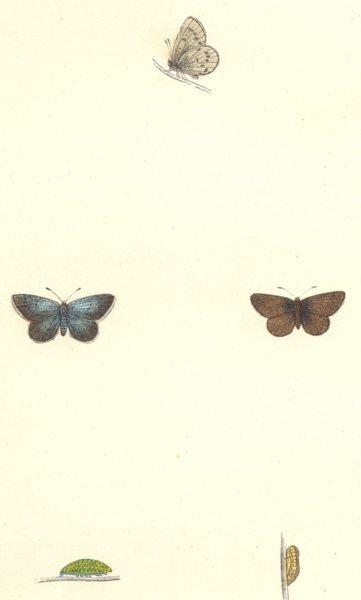 Associate Product BUTTERFLIES. Little Blue (Morris) 1868 old antique vintage print picture