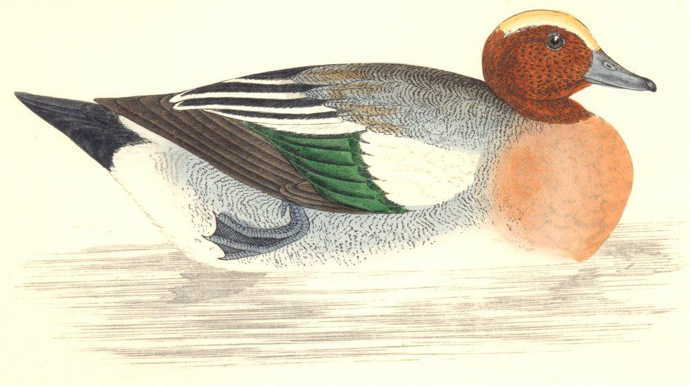 Associate Product BIRDS. Wigeon (Morris) 1880 old antique vintage print picture