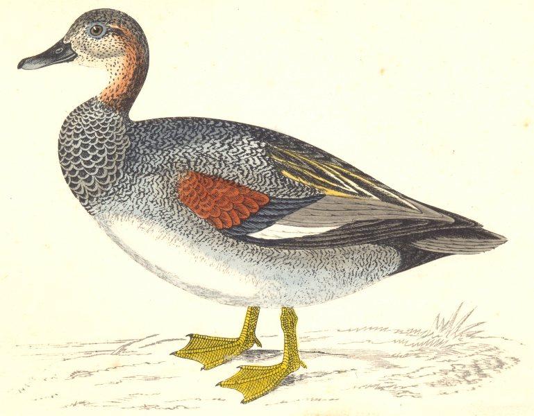 Associate Product BIRDS. Gadwall (Morris) 1880 old antique vintage print picture