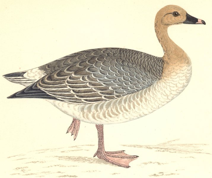 Associate Product BIRDS. Pink- footed Goose (Morris) 1880 old antique vintage print picture