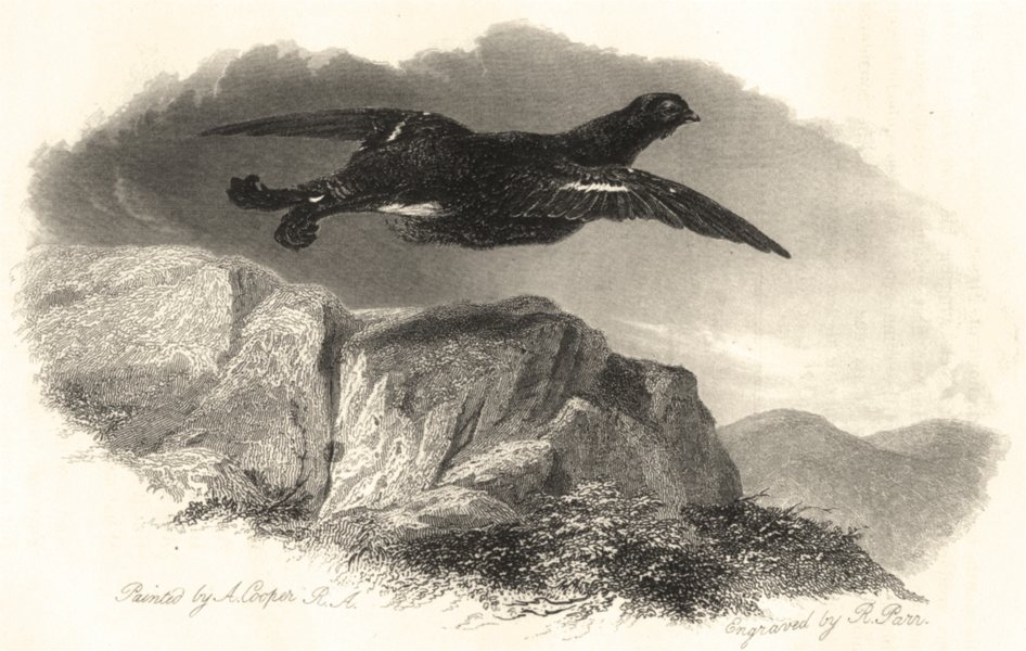 Associate Product BIRDS. 'The Black Cock'. (By A Copper)  1834 old antique vintage print picture