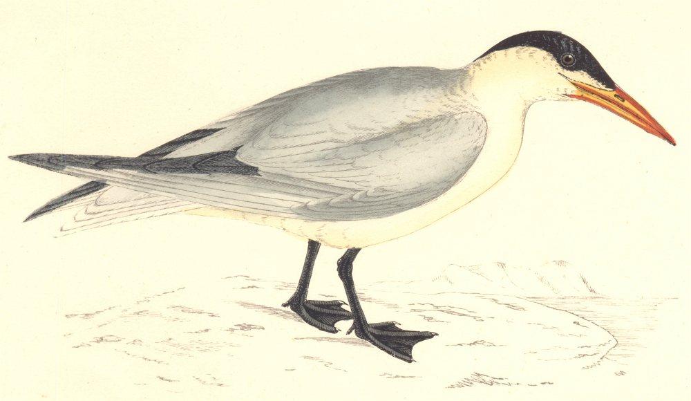 Associate Product BIRDS. Caspian Tern. (Morris) 1880 old antique vintage print picture