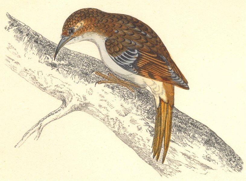 Associate Product BIRDS. Creeper. (Morris) 1880 old antique vintage print picture