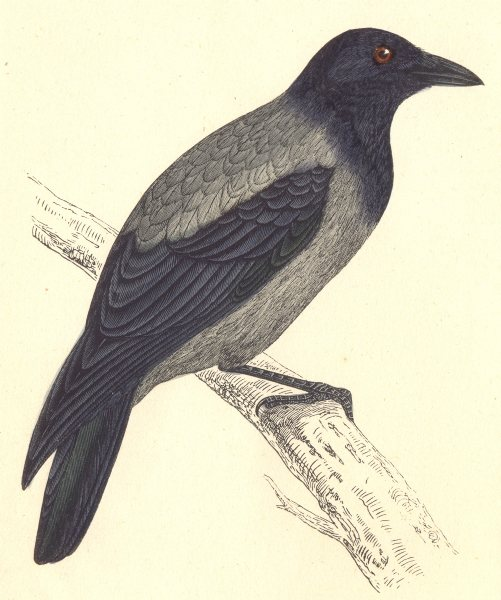 BIRDS. Hooded Crow. (Morris) 1880 old antique vintage print picture