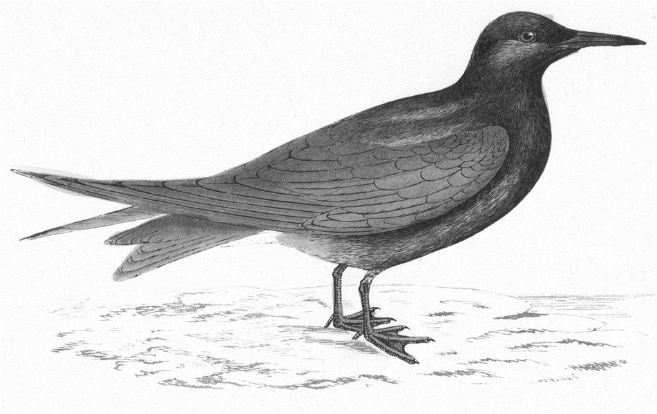 Associate Product BIRDS. Black Tern. (Morris) 1880 old antique vintage print picture