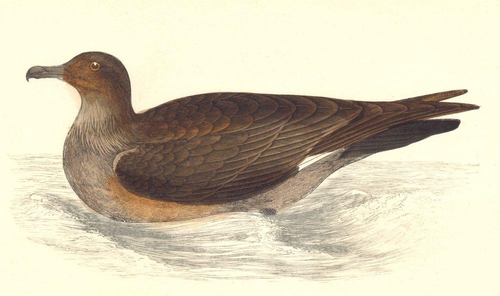 Associate Product BIRDS. Skua (Morris) 1880 old antique vintage print picture