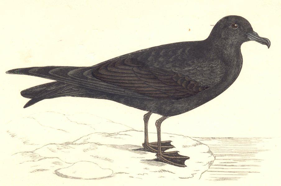 Associate Product BIRDS. Bird. Bulwer's Petrel (Morris) 1880 old antique vintage print picture