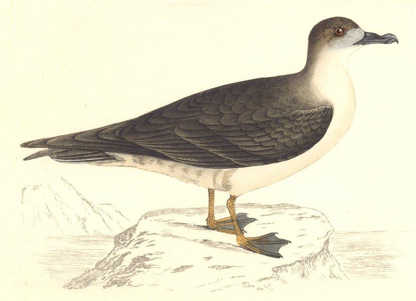 Associate Product BIRDS. Bird. Capped Petrel (Morris) 1880 old antique vintage print picture
