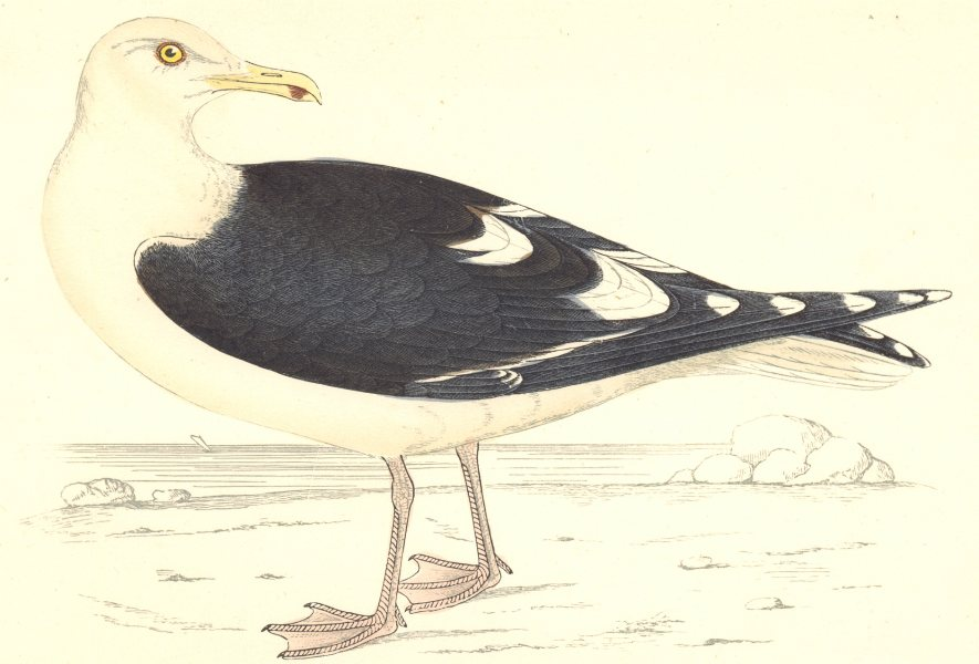 Associate Product BIRDS. Bird. Great Black- Backed Gull (Morris) 1880 old antique print picture