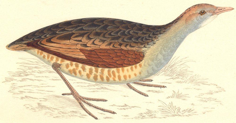 Associate Product BIRDS. Bird. Land Rail Landrail (Morris) 1880 old antique print picture