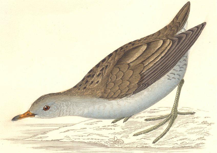 Associate Product BIRDS. Bird. Land Crake. Little Crakes (Morris) 1880 old antique print picture