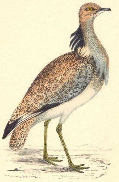 Associate Product BIRDS. Bird. Macqueen's Bustard (Morris) 1880 old antique print picture