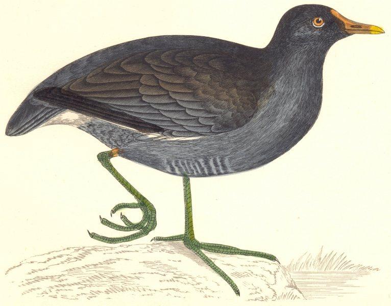 Associate Product BIRDS. Bird. Moorhen (Coot. Moor Hen) . (Morris) 1880 old antique print