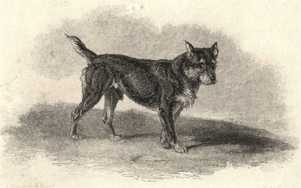 Associate Product DOGS. Terrier Black and Tan (Edward Jesse) 1888 old antique print picture