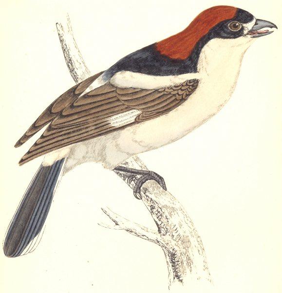 Associate Product BIRDS. Woodchat (Wood Shrike) . (Morris) 1865 old antique print picture