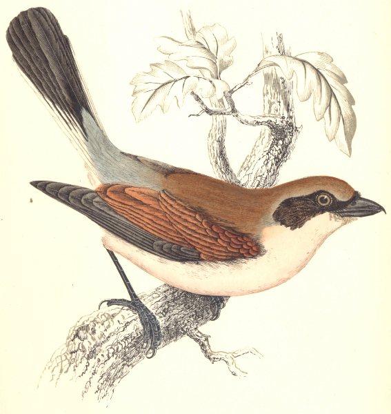 Associate Product BIRDS. Red- Backed Shrike (Morris) 1865 old antique vintage print picture
