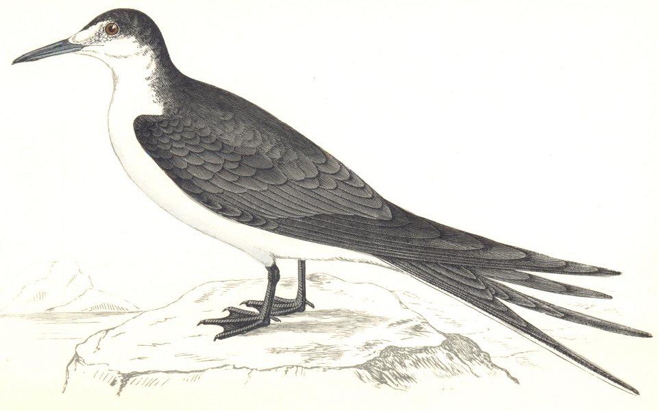 BIRDS. Sooty Tern. (Morris) 1865 old antique vintage print picture