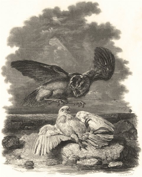 Associate Product BIRDS. 'The Pigeon Bespoke'. Attacked by owl.  c1838 old antique print picture