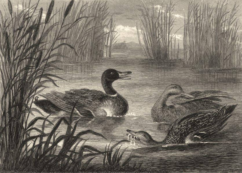 BIRDS. Wild Ducks.  c1838 old antique vintage print picture