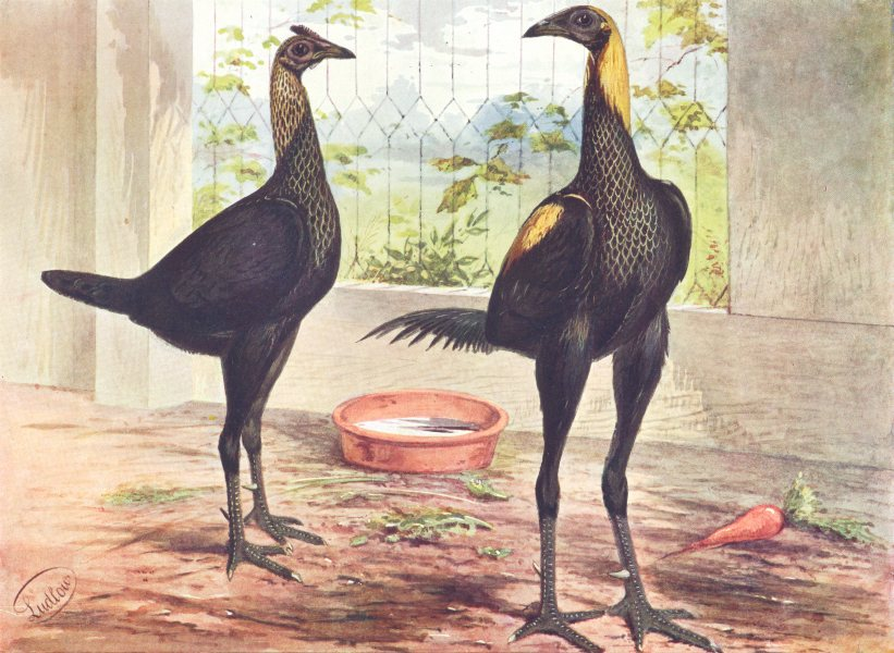 Associate Product BIRDS. Cock Fighting. Game Fowl. Brown Red Game (Wright) 1910 old print