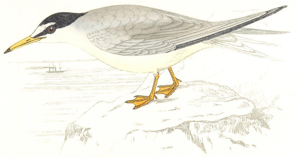 Associate Product BIRDS. Lesser Tern. (Morris) 1865 old antique vintage print picture