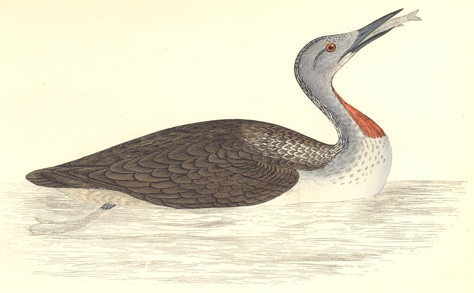 Associate Product BIRDS. Red Throated Diver. (Morris) 1865 old antique vintage print picture