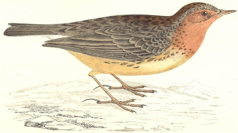 Associate Product BIRDS. Red Throated Pipit (Morris) 1865 old antique vintage print picture
