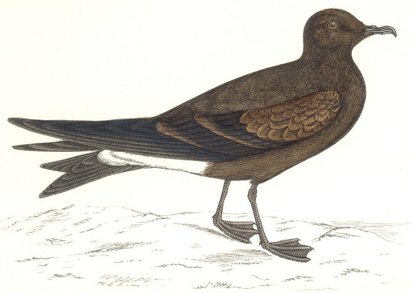 Associate Product BIRDS. Leach's Petrel. (Morris) 1865 old antique vintage print picture